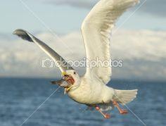 Glaucous Gull, Larus hyperboreus by John Henderson - Stock Photo