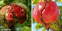Why Pomegranates Crop Before They Grow On The Tree & What Can … – Homedesign Ideas Woodworking Tips, Trees To Plant, Agriculture, Gardening Tips, Outdoor Gardens, Seeds, Projects To Try, Home And Garden, Teachers