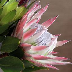 King Protea - by Protea Art, Protea Flower, Exotic Flowers, Tropical Flowers, Beautiful Flowers, Virtual Flowers, King Protea, Flower Clipart, Flower Photos