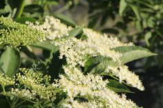 Jak rozkvetou tyhle krajkové květy černého bezu, rázem to celou zahradou voní jako bezinkový sirup. A co terpve, až jej z nich uděláme a ochutnáme... Herbs, Plants, Herb, Plant, Planets, Medicinal Plants