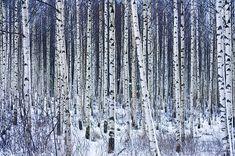 birch forest pattern - Google Search