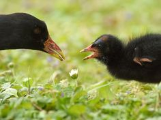 Spent the day with some moorhens on Saturday.  The chicks are so cute!