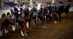 How did they decide who won that class? And why are people yelling? We answer these questions and more in our beginners guide to saddlebred horse shows!