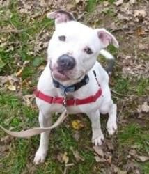 Clooney is an adoptable Pit Bull Terrier Dog in Pelham, NH. Hi all, Clooney here. I came to the Milton Animal League in Milton, MA when I was abandoned and a stray. I had a 'wound of unknown origin' s...