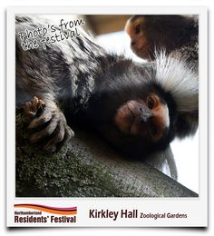 Visit Northumberland's newest tourist attraction with over one hundred species of animals including emus, wallabies, marmosets, pygmy goats, donkeys, meerkats and many more.  Visitors can meet the keepers and learn about the animals and their habitats > view our dedicated board > http://pinterest.com/northumberlandc/kirkley-hall-zoological-gardens/