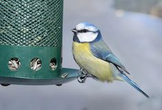 Blue tit. Now during the nesting season, they have only time for short on the feeder.