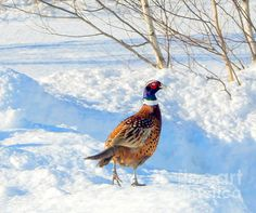 #snow  Mr.March by Karen Cook - the stunning and showy plumage of the male ring necked #pheasant glistens and shines in the March sunlight. He looks around, hoping to catch the eye of one of the females nearby....