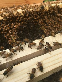 Today is bee day part and we are installing the new carniolan bees in their hive. Big Bee, Can Lids, Go Green, Lemon Grass, Bees, Something To Do, Lemon Balm