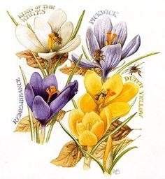 Crocus the sign of Spring by Marjolein Bastin