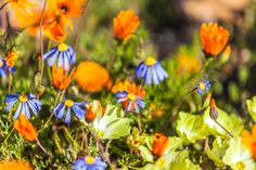 Spring flowers in Namaqua National Park. (Photograph by Marcus & Kate Westberg) Cape Town, Botany, Spring Flowers, Countryside, South Africa, Safari, National Parks, Places To Visit, Photograph