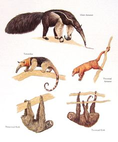 Anteaters and Sloths Vintage 1984 Animals Book Plate