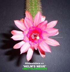 Helms Neue Hildewintera Hybrid