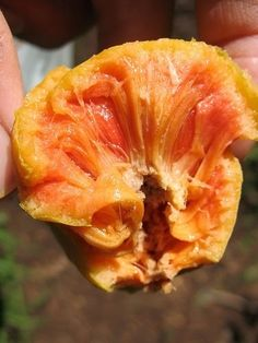 Lakoocha - This stringy-fleshed fruit is similar in taste to a kiwi, mixed with the muskiness of a breadfruit.