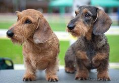 Double trouble. Find out in my next blog post if I'll ever learn to trust wired hairs... - (via Crusoe the Celebrity Dachshund)
