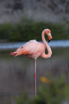 greater flamingo | Galapagos Greater Flamingo Resting - Flamingo Facts and Information
