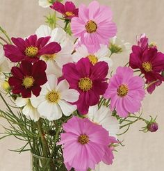 Versailles Mix Cosmos flowers were developed especially for cutting. Early blooming and vigorous. Cosmos Flowers, Bulb Flowers, Clay Flowers, Versailles, Garden Netting, Cut Flower Garden, Design Floral, Garden Pests, Flower Seeds