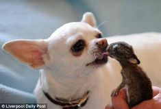Chihuahua plays daddy to baby bunny.