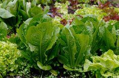 Выращивание салата в домашних условиях, http://dachadecor.ru/ogorod/viraschivanie-salata