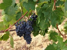 Sangiovese grapes just getting sweeter.