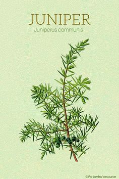 The Herb Juniper (Juniperus communis)