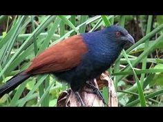 Amazing quick bird Greater Coucal traps homemade best bird traps Snare i...