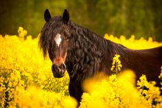Yuna, a Welsh Cob in a yellow canola field.