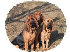 Bloodhounds, one of my Mom's favorites