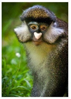 Nokta burunlu maymun