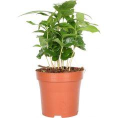 Herlig lite tre med skinnende, mørkegrønne blader som er elliptiske i formen og har bølgete kanter.  ...