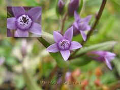 Little Gentian, flower