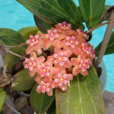 Hoya palawanica, (SRQ Hoyas)