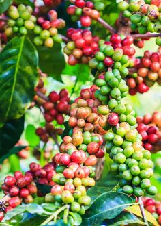 Arabica Coffee Cherries - 79 Types of Coffee (Definitive Guide) Drinks, Beans, Names, Roasts. Coffee Milk, Coffee Type, Coffee Drinks, Hot Coffee, Types Of Coffee Beans, Types Of Beans, What Is Arabica Coffee, Civet Coffee, Highlands Coffee