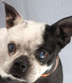 #Adopt Bubbles, a lovely 5 years 10 months Dog available for adoption at Petango.com. Bubbles is a Terrier, Boston and is available at the National Mill Dog Rescue in Colorado Springs, Co. www.milldogrescue.org #adoptdontshop #puppymilldog #rescue #adoptyourfriendtoday