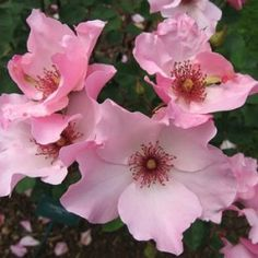 Dainty Bess rose, which made debut in is still popular Rare Flowers, Little Flowers, Rare Roses, Pretty Flowers, Perennial Flowering Plants, Garden Plants, Indoor Plants, Rose Foto, Painting The Roses Red