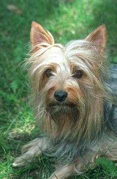 Artist Stephen Kline has collected a variety of dog and people images. Please visit his gallery at www.drawDOGS.com where you'll find over 110 breeds of dogs drawn from just words, including the Silky Terrier.
