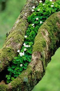 ~ Wood sorrel © Forestry Commission