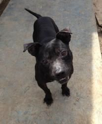 #OHIO #URGENT ~ Kennel  07 is an #adoptable Pit Bull Terrier Dog in #Elyria at the LORAIN COUNTY DOG KENNEL  301 Hadaway Ct  #Elyria OH 44035  mailto:doggiealer...  Ph 440-326-5995