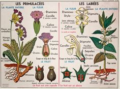 Botanical school poster by cocotteminute on Etsy Flower Chart, Theme Nature, Types Of Resources, School Posters, Illustrations, French School, Science, Natural History, Botany