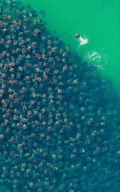 Arial photo of a swarm of Munkiana Devil Rays. I would die if I was swimming in the sea and this came by.