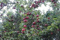 Omenoita, omenoita | Suomen Luonto