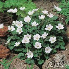 Reiherschnabel - Weiß, 5 - 7 cm hoch, bodendeckend, sonnig und schattig, normaler Boden, blüht 5 - 9