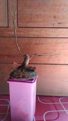 Bonsai sancang pemotongan dahan cabang yang di los dan pangkas jambi belajar bonsai ccuart Choice Image