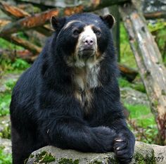 andean bear   Andean Bear/Spectacled Bear   Flickr - Photo Sharing!