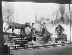 Museum staff painting background and mounting animals for Tiger Group, Asian Hall