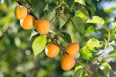 8 Fruit Trees You Can Grow on Your Balcony | Rodale News