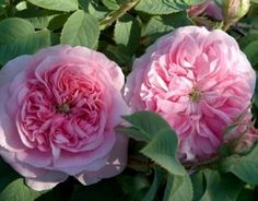 Queen of Denmark (Palatine Roses). Alba rose. Lovely Old Rose fragrance. Once-blooming.