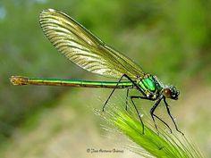 Calopteryx santhostoma