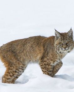 Bobcat, Yellowstone National Park, Wyoming
