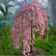 Terrace Garden - Pink Weeping Cherry Tree -memory garden- I love this With forget me nots and Jacobs tears. This time, we will know how to decorate your balcony and your garden easily with plants Garden Trees, Lawn And Garden, Terrace Garden, Herb Garden, Trees And Shrubs, Trees To Plant, Weeping Cherry Tree, Dwarf Weeping Trees, Dwarf Flowering Trees