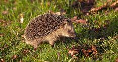 12 spännande fakta du (kanske) inte visste om igelkotten! | Land.se Hedgehogs, Animals, Animales, Animaux, Animal, Animais, Hedgehog, Dieren, Pygmy Hedgehog